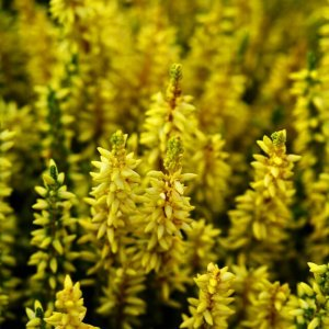 Calluna in strahlendem Gelb