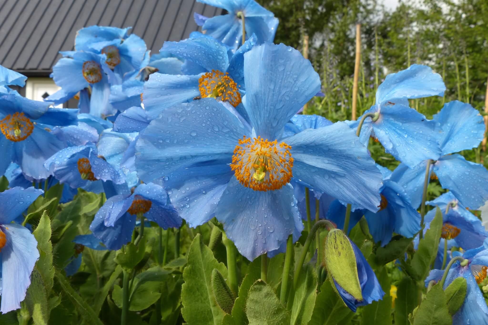 Ein besonderes Highlight: Blaue Mohnblumen