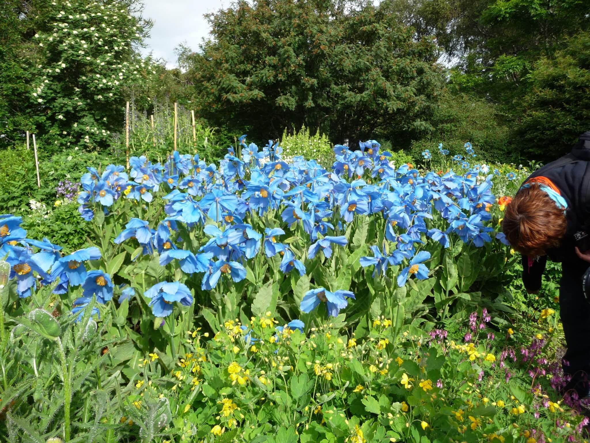 Blaue Mohnblumen sind ein besonderes Highlight im Garten