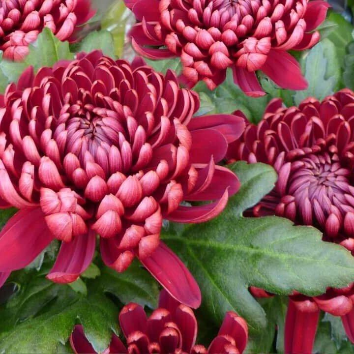 Dunkelrote Chrysanthemen