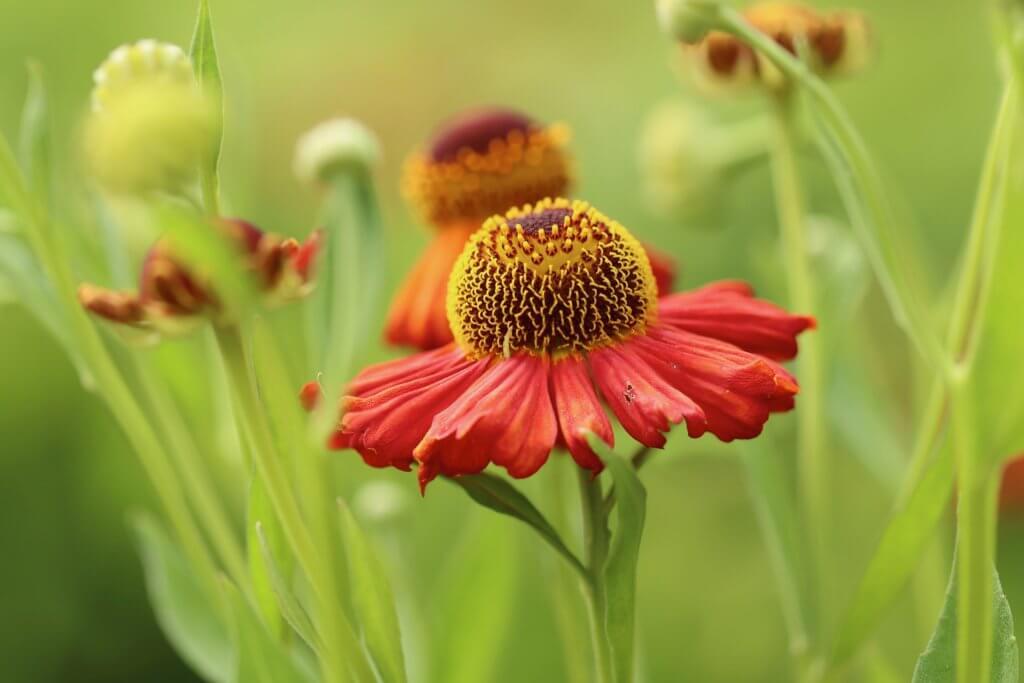 Helenium Sommerblume