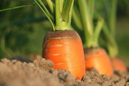Karotten Im Gemüsebau