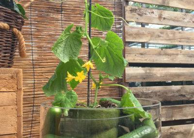 Lilli Liliput Gurke